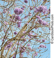 Jacaranda, árbol, con, lila, flor