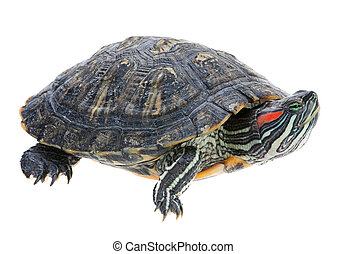 Red-eared slider isolated on white