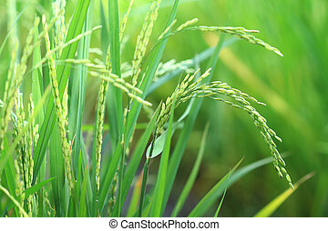 Rice plant closeup