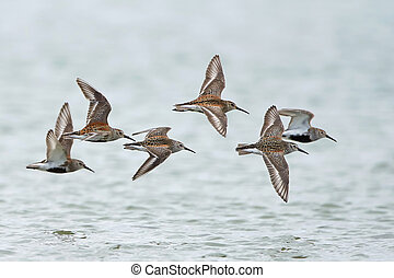 Dunlin Calidris alpina - Dunlins in flight with water in the...