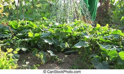 grower pour water drops on cucumber vegetable plants with...