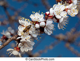Apricot tree blossom flower on branch