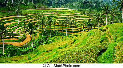 Rice Field Landscape - Amazing view of the Rice Terrace...