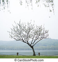 Peach trees blossoming in the mist by the Xi Hu lake in...