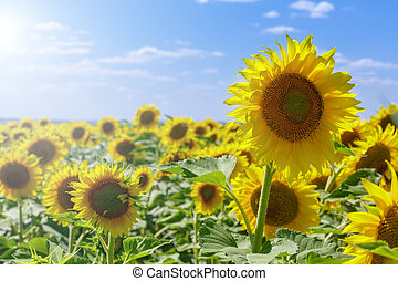 Field of sunflowers on a hot summer day