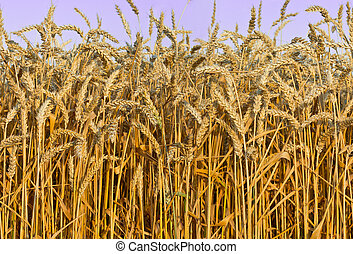 seamless detail of wheat field