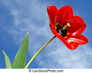single tulip - open red tulip with leaves against blue sky...