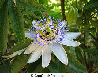 Passion flower Passiflora incarnata with details in the...