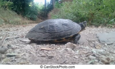 turtle on a track - small turtle walking on a path