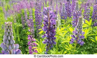 Honey bee on a field of lavender fl - Beautifu honey bee on...