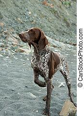 Kurzhaar dog - kurtshaar pedigree dog on a background of...