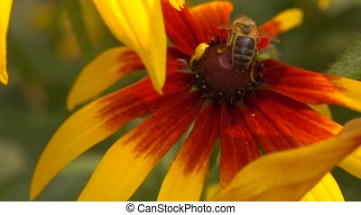 Honeybee crawling on yellow coneflower and flying away....