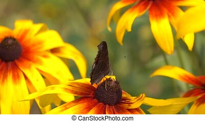 European peacock butterfly crawling on yellow flower and...