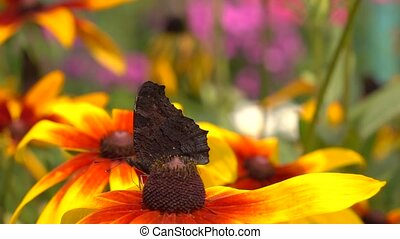 Beautiful butterfly crawling on yellow rudbeckia flower and...
