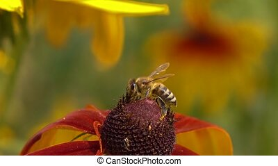 Bee crawling on rudbeckia flower and flying away. Super slow...