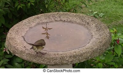 Robin drinking from a birdbath - Robin drinking from a...