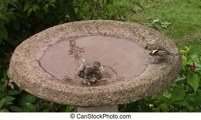 Green finch in a bird bath. - Green finch cleaning its...