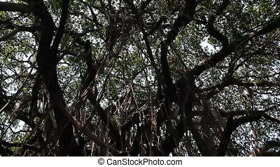Big banyan