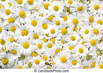 camomile - white and fresh flower camomile as background
