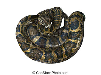 3D Rendering Burmese Python on White - 3D rendering of a...