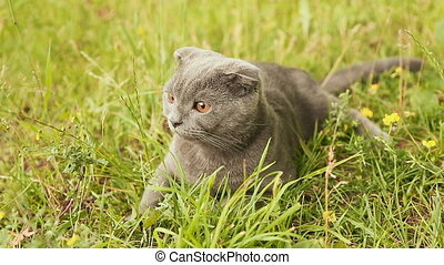 Scottish Fold cat lying in the grass.