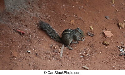 nimble little squirrel eating a nut