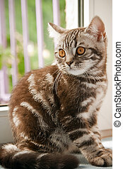 British Kitten - a British Shorthair kitten with the classic...