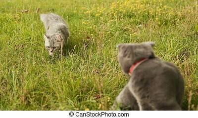 Scottish Fold cat and gray British cat walking on grass