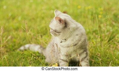 Beige British cat sitting on the grass. - Beige British cat...