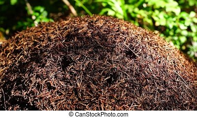 Anthill in summer forest - Life bustling on anthill in...