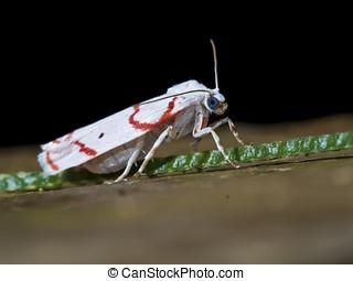 moth,Gargela renatusalis (Walker, 1859) - moth at...