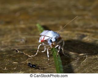 moth,Gargela renatusalis - moth at night,Gargela renatusalis