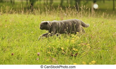 Scottish Fold cat walking on grass. With a collar around his...