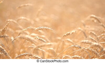 Wheat field. stalk close-up.