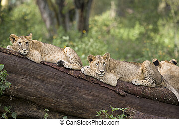 Lion cubs lying on a fallen tree, Lake Nakuru National Park,...