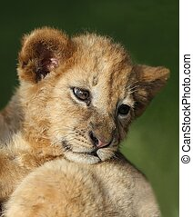 Lion Cub - Small cute lion cub looking back with big eyes