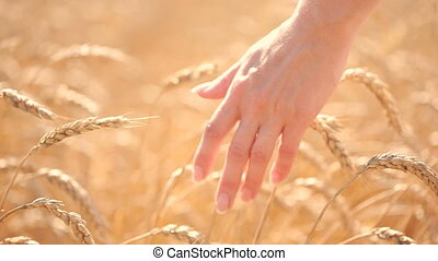 Girl touches ripe ears of corn in a wheat field. agriculture concept