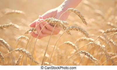 Girl touches ripe ears in a wheat field. agriculture concept