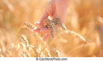 Girl touches ripe ears of corn in a wheat field agriculture...