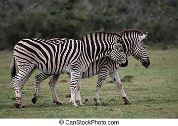 Zebras - Two Burchels or plains zebras walking together