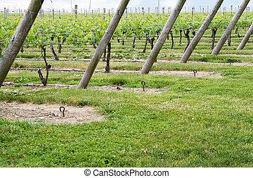 Wine Vineyard Rows
