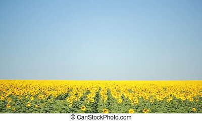 A field of sunflowers. One beautiful flower In the...