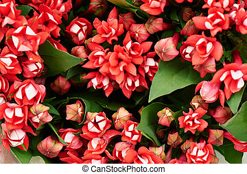 Floral red flower bouvardia for interior decoration and...