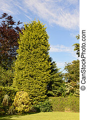 tall leylandii tree - a tall cupressa leylandii tree often...