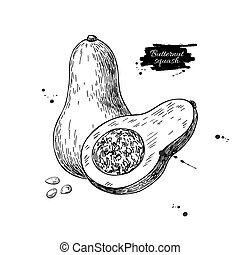 Butternut squash vector drawing. Isolated vegetable with...