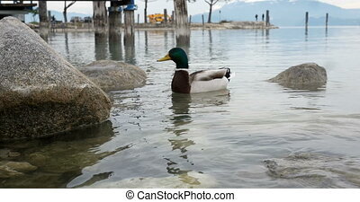 Male duck feeding on a lake - Male duck feeding swimming on...