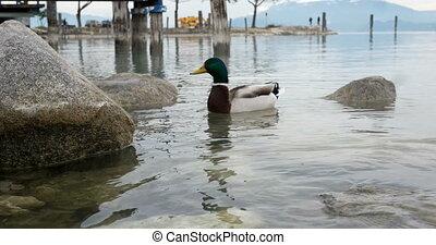 Male duck feeding on a lake