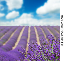 Beautiful landscape of blooming lavender field with sunny...