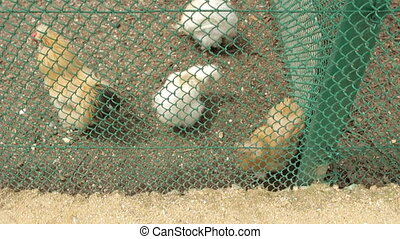 Chickens in the fence - Chickens of the cage at the zoo