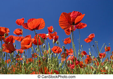 Beauty poppy - Red poppies field  and the blue sky